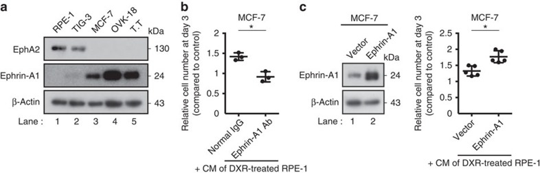 Ephrin-A1 mediates the growth-promoting effect of sEV-associated EphA2. ( a ) Immunoblotting of EphA2, ephrin-A1 and β-actin in the WCL of indicated cell lines. ( b ) Relative numbers of MCF-7 cells grown for 3 days in the presence of CM compared with the number of cells grown for 3 days in normal medium. Normal rabbit IgG or rabbit anti-ephrin-A1 IgG (AER-031; Alomone) was added to the medium at a concentration of 5 μg ml −1 . CM was prepared from DXR-induced senescent RPE-1 cells. ( c ) Immunoblotting shows successful overexpression of ephrin-A1 in MCF-7 cells. Dot plot represents the relative numbers of MCF-7 cells grown for 3 days in the presence of CM compared with the number of cells grown for 3 days in normal medium. Empty vector or ectopic ephrin-A1 was expressed in MCF-7 cells. CM was prepared from DXR-induced senescent RPE-1 cells. Replicates are biological replicates ( n =3 for b and n =5 for c ). Error bars indicate s.d. * P