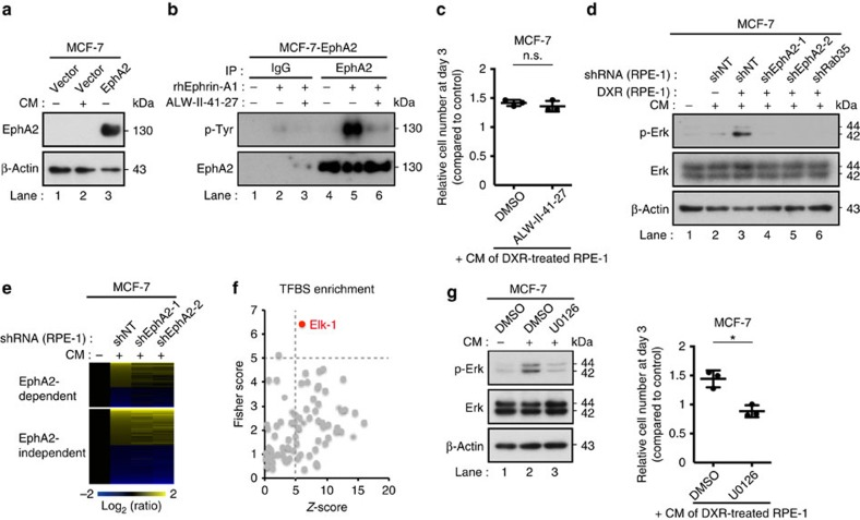 sEV-associated EphA2 promotes cancer cell proliferation through EphA2/ephrin-A1 reverse signalling. ( a ) Immunoblotting of EphA2 and β-actin in the WCL of MCF-7 cells expressing empty vector or ectopic EphA2. Cells were grown for 3 days with or without CM prepared from DXR-induced senescent RPE-1 cells. ( b ) EphA2 immunoprecipitates prepared from MCF-7 cells expressing ectopic EphA2 were immunoblotted with anti-phosphotyrosine and anti-EphA2 antibody. The indicated samples were treated with recombinant human ephrin-A1 (500 ng ml −1 ) for 20 min. Eight-hour pre-treatment with the EphA2 inhibitor ALW-II-41-27 (100 nM) suppressed ephrin-A1-induced EphA2 phosphorylation. ( c ) Relative numbers of MCF-7 cells grown for 3 days in the presence of CM compared with the number of cells grown for 3 days in normal medium. DMSO or ALW-II-41-27 (100 nM) was added to the medium. ( d ) Immunoblotting of phospho-Erk, total-Erk and β-actin in the WCL of MCF-7 cells grown for 3 days with or without CM prepared from control or DXR-induced senescent RPE-1 cells expressing non-targeting shRNA (shNT), shEphA2 or shRab35. ( e ) The heatmap shows the relative gene expression levels in MCF-7 cells grown for 3 days with or without CM prepared from DXR-induced senescent RPE-1 cells expressing shNT or shEphA2. Genes whose expression levels were changed more than 1.2-fold by the CM of shNT-expressing cells are shown. ( f ) EphA2-dependent upregulated genes were analysed with oPOSSUM-3. Each circle in the plot shows an enrichment of the targets of a different transcription factor. ( g ) Immunoblotting of phospho-Erk, total-Erk and β-actin in the WCL of MCF-7 cells grown for 3 days with or without CM. Dot plot represents the number of MCF-7 cells grown for 3 days in the presence of CM compared with the number of cells grown for 3 days in normal medium. DMSO or U0126 (500 nM) was added to the medium. CM was prepared from DXR-induced senescent RPE-1 cells. Replicates are biological replicates ( n 