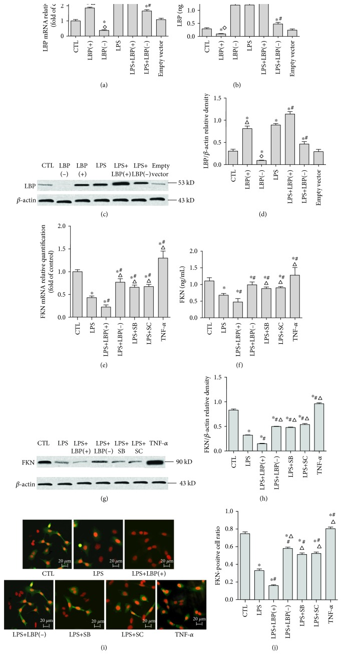 LBP gene overexpression further decreased LPS-induced downregulation of FKN mRNA and protein expression; LBP gene silencing, SB203580, and SC-514 suppressed LPS-induced downregulation of FKN mRNA and protein expression, respectively, in A549 cells. RT-PCR and ELISA were used to analyze the LBP and FKN mRNA and protein expression, respectively, in A549 cells. The LBP mRNA expression is shown in (a). The relative LBP mRNA levels (normalized to GAPDH mRNA) in LPS-stimulated cells are significantly higher than those in control cells ( p