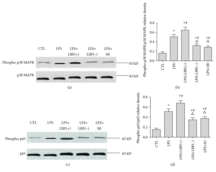 The expressions of phospho-p38 MAPK and phospho-p65 in A549 cells with and without plasmid transfection or inhibitors following LPS treatment. Western blotting was used to image the expression of phospho-p38 MAPK and phospho-p65 in A549 cells with and without plasmid transfection or inhibitors following LPS treatment. A549 cells of the LPS+LBP and LPS+LBP(−) groups were transfected with LBP plasmid DNA or LBPshRNA-expressing plasmid DNA, respectively, for 48mins following LPS treatment. A549 cells of the LPS+SB and LPS+SC groups were pretreated with SB203580 or SC-514 for 60 mins following LPS treatment. The cells were collected with cell lysis buffer 1 h after LPS stimulation for western blotting. The figure shows that there is increased expression of phospho-p38 MAPK and phospho-p65 in A549 following LPS treatment. Transfection with LBP plasmid DNA increased the expression of phospho-p38 MAPK and phospho-p65. Transfection with LBP shRNA plasmid DNA decreased the expression of phospho-p38 MAPK and phospho-p65. Pretreatment with SB203580 reduced the expression of phospho-p38 MAPK, and pretreatment with SC-514 reduced the expression of phospho-p65 protein. The relative densities of phospho-p38 MAPK/ β -actin (a and c) and phospho-p65/ β -actin (b and d). ∗ represents p