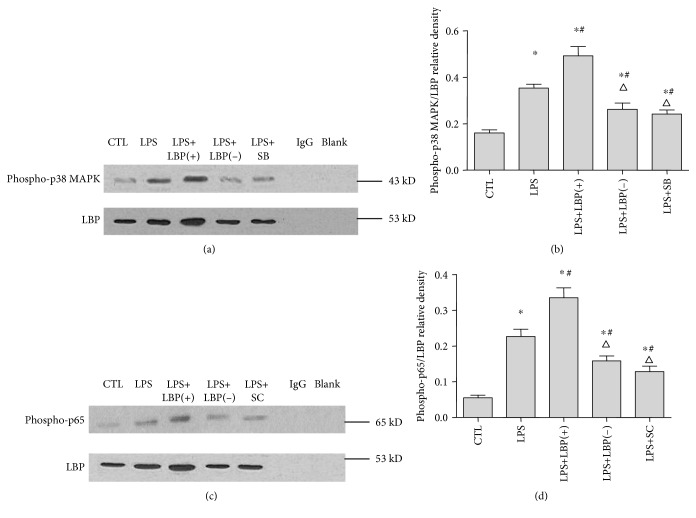 LBP gene overexpression enhanced the interaction between LBP and phospho-p38 MAPK and LBP and phospho-p65. LBP gene silencing inhibited the interaction between LBP and phospho-p38 MAPK and LBP and phospho-p65. SB203580 and SC-514 inhibited the interaction between LBP and phospho-p38 MAPK and LBP and phospho-p65, respectively, in A549 cells. Coimmunoprecipitation and western blotting were used to detect the interaction between LBP and phospho-p38 MAPK and LBP and phospho-p65. Phospho-p38 MAPK/LBP and phospho-p65/LBP relative densities were calculated to measure the strength of protein interactions. The result shows that LBP interacted with phospho-p38 MAPK and phospho-p65 weakly in the control group of cells ( p
