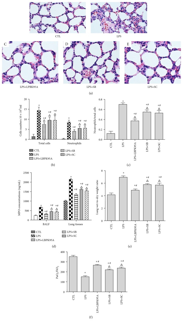 SB203580 and SC-514 ameliorated LPS-induced lung injury and inflammation. Hematoxylin and eosin staining was used to determine the LPS-induced lung injury and inflammatory response in the lung tissue of the ARDS rat model. (a) The control group rats (A) had a distinct framework with complete alveolar walls and interstitium without exfiltration. The LPS group rats (B) showed edema, neutrophil infiltration, hemorrhage, moderate bronchiole epithelial desquamation, and minimal hyaline membrane formation. Histotological analysis also show that rats receiving LBPK95A, SB203508, or SC514 injection had substantially less inflammatory cell infiltration, edema, hemorrhage, and thickness of alveolar walls in comparison to rats treated with LPS ((C), (D), and (E), resp.). The photomicrographs are at 400x magnification. ((b) and (c)) The total number of cells, neutrophil number, and neutrophil ratio in BALF were higher in the LPS group than that in the control group and lower in the LPS+LBPK95A, LPS+SB, and LPS+SC groups than that in the LPS group ( p