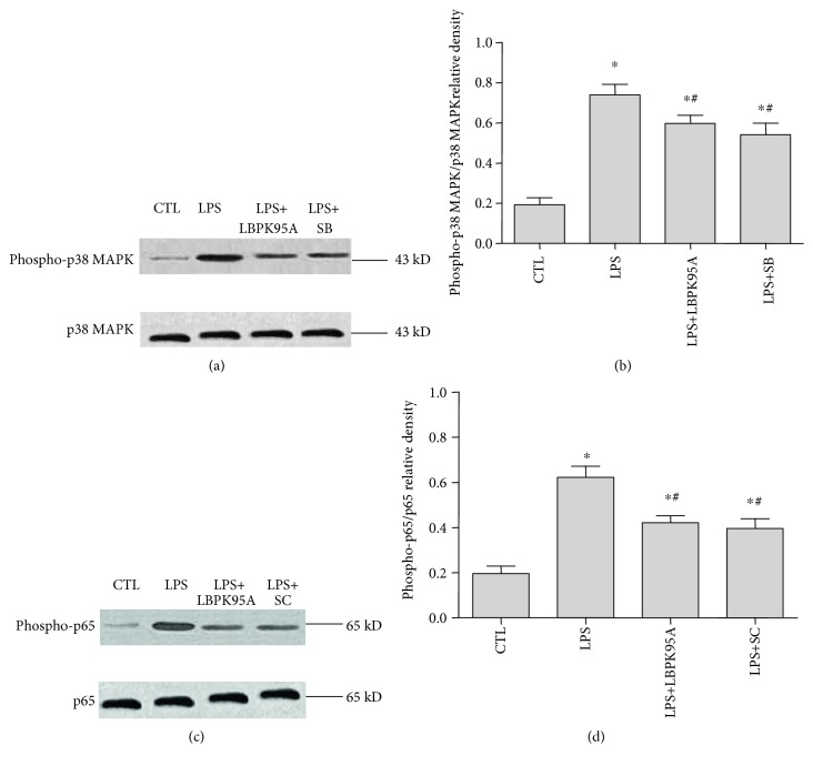 Expression of phospho-p38 MAPK and phospho-p65 in lung tissue homogenates from rats with ARDS. Western blotting was used to detect the expression of phospho-p38 MAPK and phospho-p65 in the ARDS rat model with and without inhibitors following LPS treatment. LBPK95A, SB203580, and SC-514 inhibited the LPS-induced expression of phospho-p38 MAPK (a) and phospho-p65 (b) as seen from the relative densities of phospho-p38 MAPK/ β -actin (c) and phospho-p65/ β -actin (d). ∗ represents p
