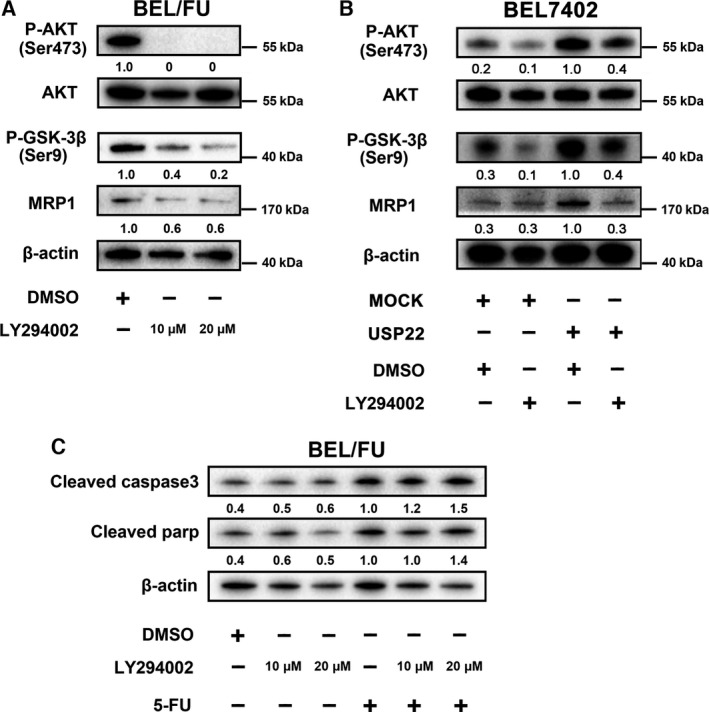 Inhibition of the AKT pathway suppresses MRP1 expression and promotes 5‐FU‐induced apoptosis in BEL/FU cells. (A) LY294002 (10 μ m , 20 μ m ) was used to treat BEL/FU cells, and phosphorylated AKT, AKT, phosphorylated GSK‐3β, and MRP1 were monitored using western blot analysis. (B) AKT/MRP1 pathway expression was monitored by western blot analysis in BEL7402 cells with USP22 overexpression and/or LY294002. (C) Cleaved caspase‐3 and cleaved parp were monitored using western blot analysis in cells treated with LY294002 and/or 5‐FU. Band intensities were semiquantified using image lab 5.0 software and normalized with AKT or β‐actin. Values are represented as the means under the bands.