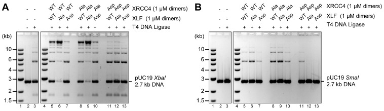 Blocking XRCC4 and XLF phosphorylation sites enhances DNA bridging; phospho-mimicking mutations abate DNA bridging. All combinations of XRCC4 variants with XLF variants tested in ability to stimulate T4 DNA ligase cohesive end ligation ( A ) or blunt end ligation ( B ). Ligation products were deproteinized and resolved by agarose gel electrophoresis followed by detection by ethidium bromide staining. DOI: http://dx.doi.org/10.7554/eLife.22900.014