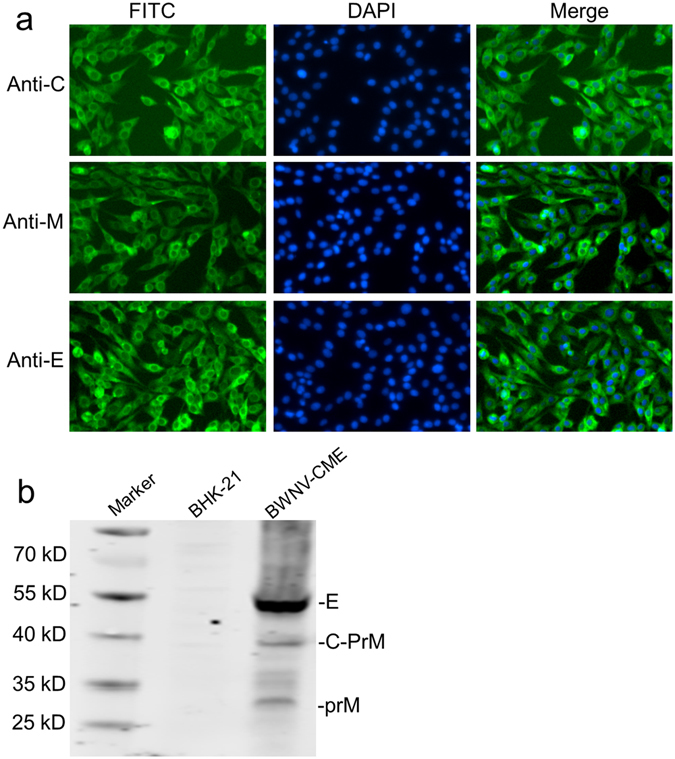 Immunofluorescence and Western blotting analyses of C, prM and E protein expression in BWNV-CME cells. ( a ) Immunofluorescence analysis of BWNV-CME cells with monoclonal antibodies against the C, prM and E proteins. ( b ) BWNV-CME cell lysates were analysed by Western blotting with MAbs against C, prM and E. The cell lysates of BHK-21 cells were used as a negative control. The relative locations of the WNV E, C-PrM and PrM proteins are indicated on the right. Full-length blots are presented in Supplementary Figure 1 .