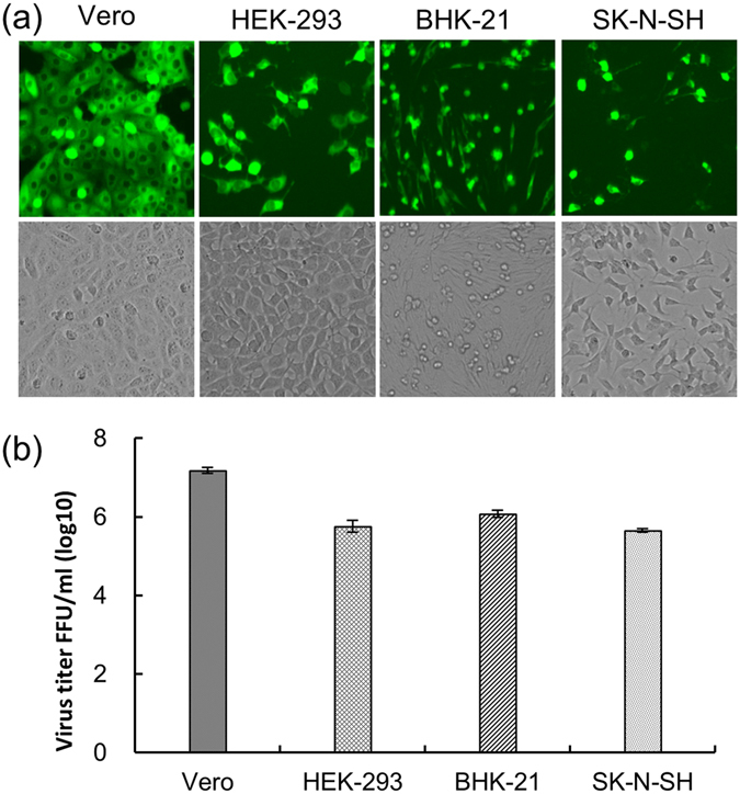Infectious properties of WNV RRPs in Vero, HEK-293, <t>BHK-21</t> and SK-N-SH cells. ( a ) Expression of the GFP reporter gene in each cell line after the infection of equal amounts of RRPs. ( b ) Monolayers of each cell line in a six-well plate containing 10 5 to 10 6 cells/well were infected in parallel with 10-fold serial dilutions of WNV RRPs. Cells positive for GFP protein were counted at the appropriate dilution and the number of RRPs per 1 mL of supernatant were calculated.