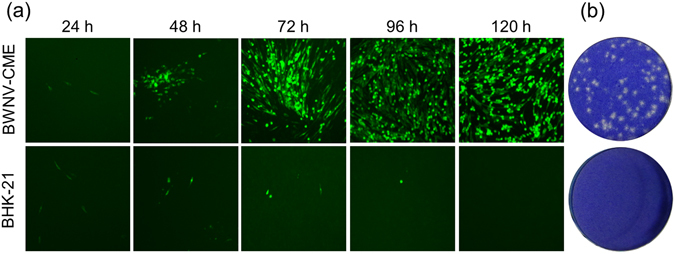 Propagation characteristics of RRPs in BWNV-CME and BHK-21 cells. ( a ) The spread of green fluorescence in BWNV-CME cells infected with RRPs. In RRP-infected BHK-21 cells, the green fluorescence expressing cells did not increase from 24 h post-infection. The BWNV-CME and BHK-21 cells were seeded into 24-well plates and inoculated with RRPs for the indicated time periods. For detection of plaques, the infected cells were overlaid with Eagle's medium containing 1.5% carboxymethyl cellulose and 1% foetal calf serum. The morphological changes of one plaque were observed with a fluorescent microscope. ( b ) WNV plaque formation in WNV-CME cells. Six days post-infection, the plates were stained with 0.1% crystal violet solution for 15 min at room temperature. The stain was discarded and the cells were rinsed with tap water.