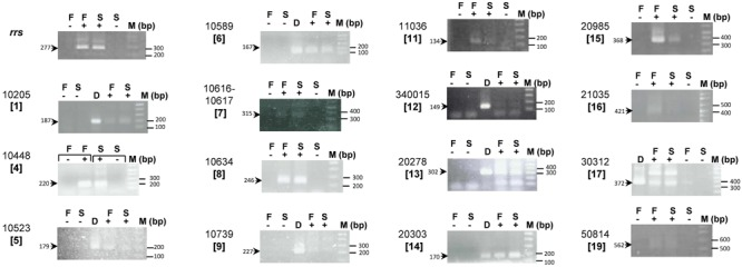 Expression of At. ferrivorans CF27-specific genes. RT-PCR experiments were performed on RNA extracted from At. ferrivorans CF27 Fe(II)-grown cells (F) or sulfur attached cells (S) without reverse transcriptase (–), with reverse transcriptase (+), and on genomic DNA from At. ferrivorans CF27 (D). AFERRI_v2 (or v1) number of each gene is shown with the corresponding cluster number in square brackets. The size of the expected PCR products is indicated. M is the 1 Kbp plus DNA ladder from Invitrogen.