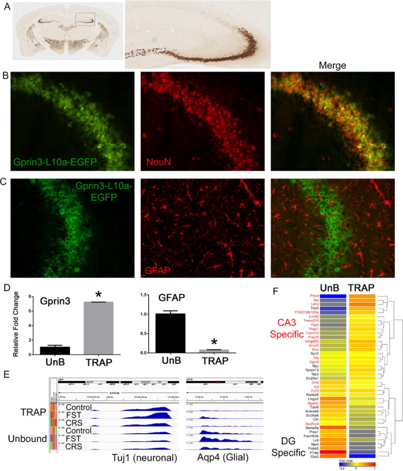 Gprin3-BacTRAP mice allow for the isolation of translating mRNA from CA3 neurons A) Immunohistochemical labeling for the EGFP fusion proteins shows expression in several brain regions, but in hippocampus the labeling is primarily in the CA3 region. B–C) Double labeling for either <t>NeuN</t> or <t>GFAP</t> confirm that Gprin3-EFGP-L10a positive cells are neuronal. D) qRT-PCR from TRAP-IP and Unbound (UnB) mRNA isolations demonstrates significant enrichment for Gprin3 in the TRAP fraction and the glial specific marker Gfap in the unbound fraction. E) Read density plots from RNA-Seq data of the canonically neuronal gene Tuj1 and the glial gene Aqp4 demonstrate enrichment of neuronal genes in the TRAP fraction and glial genes in the unbound fraction across stress conditions (FST= forced swim test; CRS= Chronic Restraint Stress). F) Heatmap of genes expressed in either dentate gyrus (black) or CA3 (red) shows that the TRAP-IP is highly enriched in CA3 specific genes, whereas dentate specific genes are enriched in the unbound fraction. (*p