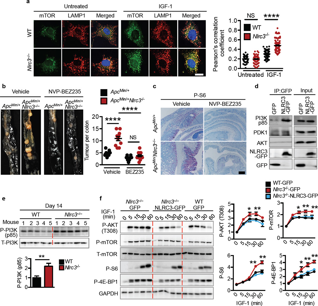 NLRC3 regulates upstream signalling molecules within the PI3K–AKT–mTOR pathway a , Immunofluorescence staining of primary fibroblasts and frequency of co-localisation between mTOR and LAMP1 (n= > 150). b , Images and quantification of colon tumours in littermate Apc Min/+ and Apc Min/+ Nlrc3 −/− mice 40 days after treatment with vehicle or NVP-BEZ235. c , Immunohistochemical staining of colon tissues from mice treated as in b. d , Immunoprecipitation of the GFP tag in 239T cells transfected with a plasmid encoding GFP alone or NLRC3-GFP. e , Immunoblot of mouse colon tissues and densitometric quantification. f , Immunoblot of primary mouse fibroblasts transduced with a <t>retroviral</t> vector encoding GFP or NLRC3-GFP, with or without stimulation with IGF-1, and densitometric quantification. Scale bar, 10 µm ( a ), 200 µm ( c ). * P