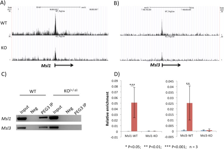 PEG3 binding to the promoter regions of Msl1 and Msl3 . ( A-B ) Two sets of the results derived from ChIP-seq experiments using anti-PEG3 antibody are shown with the 100-kb genomic intervals containing Msl1 (Mmu11) and Msl3 (MmuX). The panels on top are from the WT-MEF cells, whereas the panels on bottom are from the KO-MEF cells. The values on the Y-axis indicate statistical p values, and all four panels have been presented on the same scale with the maximum value being 30. The values on the X-axis indicate the relative genomic positions, and the transcriptional direction of each gene is indicated with an arrow. ( C ) Individual ChIP experiments confirming the binding of PEG3 to the promoter regions of Msl1 and Msl3 . The immunoprecipitated DNA from WT or KO-MEF cells with anti-PEG3 antibody was used as template DNA for PCR amplification. This series of PCR surveys also included the two controls as template DNA: the Input and Negative (Neg). The Neg control was derived from the ChIP experiment without the antibody. ( D ) Quantitative PCR analyses of the immunoprecipitated DNA with anti-PEG3 antibody. The enrichment levels at the promoter regions of Msl1 and Msl3 were measured and compared between the Neg and PEG3-IP samples. The values on the Y-axis indicate the relative enrichment value of each sample to the amount of the Input sample. This series of analyses were performed in triplicates and also repeated more than two independent trials.