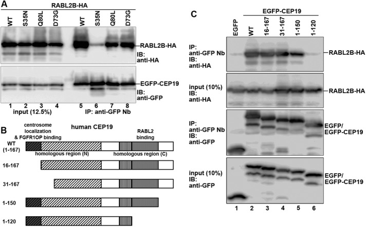 Interaction between RABL2 and CEP19. (A) Interaction of RABL2 with CEP19. HEK293T cells were transiently cotransfected with expression vectors for EGFP-CEP19 and RABL2B(WT)-HA or its mutant (S35N, Q80L, or D73G). At 24 h after the transfection, lysates were prepared from the transfected cells and immunoprecipitated with GST-fused anti–GFP Nb prebound to glutathione–Sepharose 4B beads. Proteins bound to the precipitated beads were subjected to SDS–PAGE and immunoblotting analysis using anti-HA or anti-GFP antibodies. (B) Schematic representation of the structures of CEP19 and its deletion constructs. (C) RABL2 interacts with the C-terminal region of CEP19. Lysates prepared from HEK293T cells transfected with expression vectors for RABL2B-HA and EGFP, or EGFP-tagged CEP19(WT) or its deletion construct, as indicated, were processed for immunoprecipitation with GST–anti-GFP Nb, followed by immunoblotting analysis, as described for A.