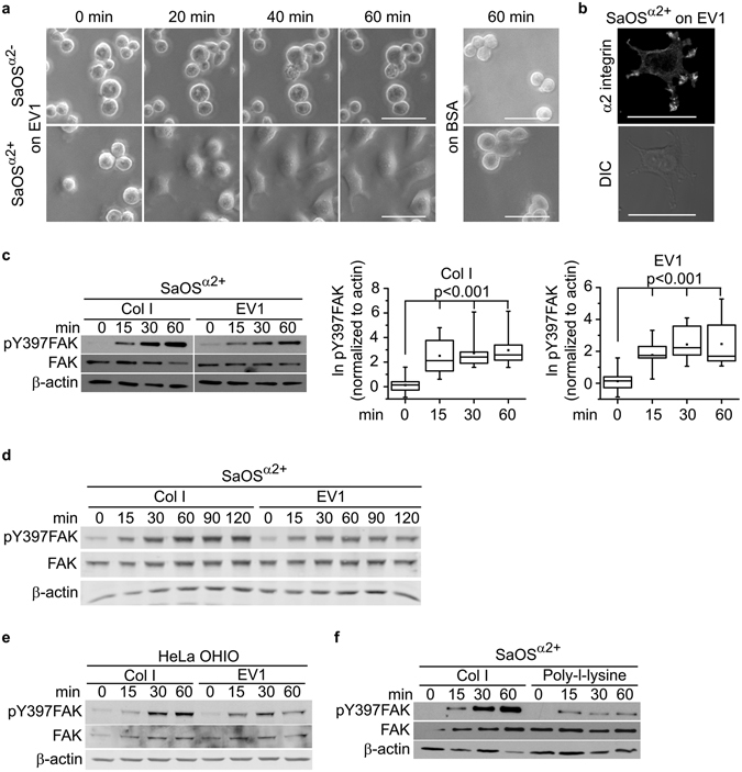 Cells expressing α2 integrin attach on EV1 coated surface through interaction between nonactivated integrins and the virus, and activate FAK signaling. ( a ) Integrin α2 transfected SaOS cells (SaOS α2+ ) and α2 integrin negative wild type SaOS cells (SaOS α2− ) spreading on EV1 or BSA coated surface. Photographed through a phase contrast microscope after 0, 20, 40, and 60 min. Scale bar 50 μm. ( b ) Confocal microscopy image of SaOS α2+ cell on EV1-coated surface. α2 integrins were labelled using specific antibodies. Scale bar 50 μm. ( c ) Western blotting detection of phosphorylation of FAK at Y397 in SaOS α2+ cells on collagen I or an immobilized layer of EV1. Typical experiment on the left, and on the right, a visualization of the results from ten independent experiments presented in box blot as natural logarithm of pY397FAK band intensity normalized to β-actin. Whiskers present minimum and maximum of all of the data. Non-parametric Mann-Whitney U test was used to determine statistical significance. ( d ) Western blotting analysis of FAK Y397 phosphorylation SaOS α2+ cells plated on collagen I or an immobilized layer of EV1, time points 0 to 120 min. ( e ) Western blotting of FAK Y397 phosphorylation in <t>HeLa</t> <t>OHIO</t> cells plated on collagen I or an immobilized layer of EV1. ( f ) Western blotting of FAK Y397 phosphorylation in SaOS α2+ cells spreading on Collagen I or poly-L-lysine.