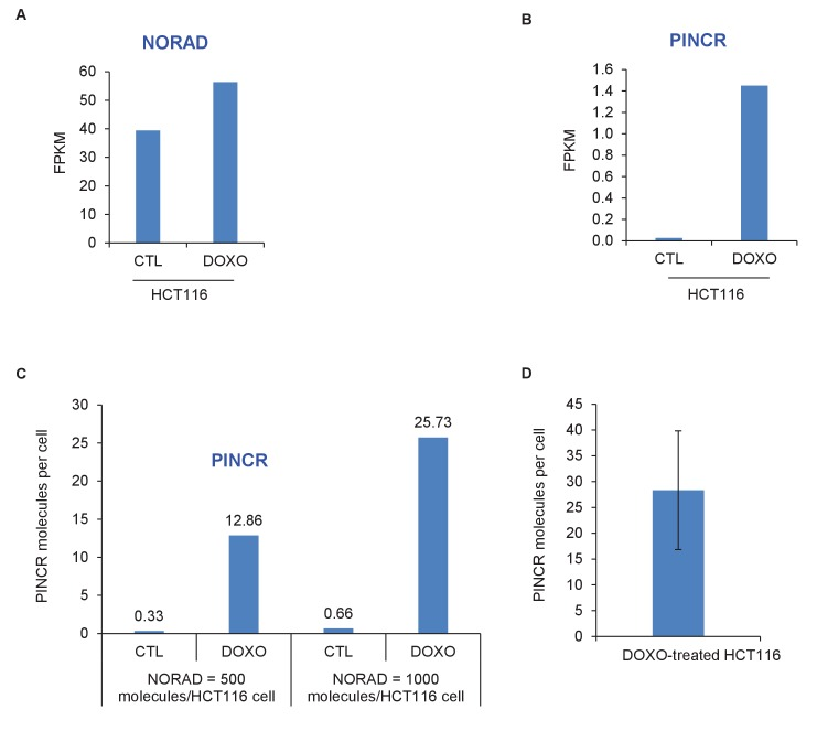 PINCR molecules per HCT116 cell. The number of molecules of PINCR RNA per HCT116 cell was determined by two approaches. First ( A–C ), using RNA-seq from HCT116 cells (Li et al., unpublished): The FPKM of PINCR from CTL and DOXO-treated HCT116 cells was compared to NORAD, a lncRNA known to be expressed at 500–1000 molecules/HCT116 cell ( Lee et al., 2016 ). Second ( D ), by qRT-PCR from DOXO-treated HCT116 cells using in vitro transcribed PINCR RNA as standard. DOI: http://dx.doi.org/10.7554/eLife.23244.009