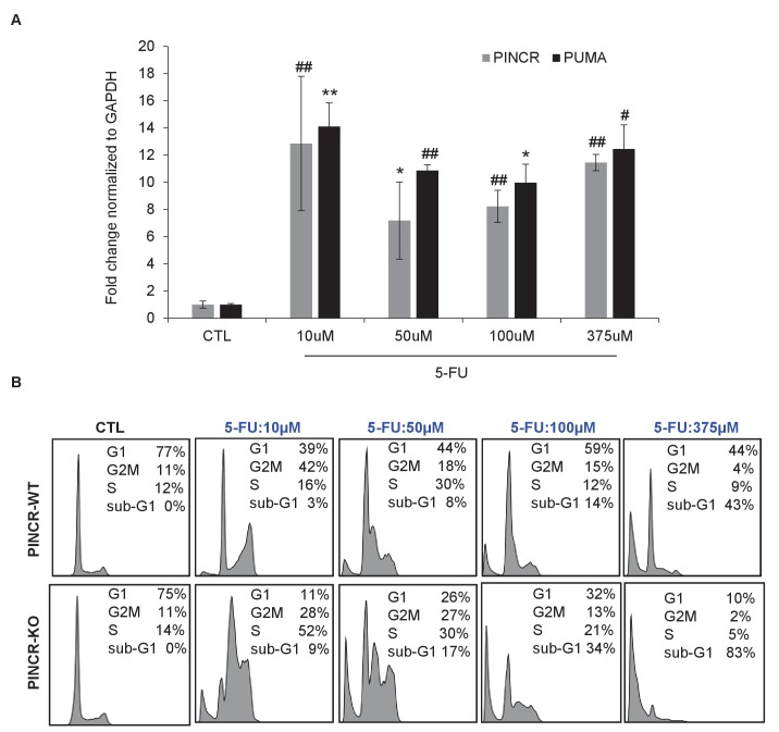 Effect of different doses of 5-FU on PINCR levels and cell survival. ( A ) qRT-PCR analysis from HCT116 cells untreated or treated for 24 hr with different doses of 5-FU. ( B ) HCT116 PINCR -WT and PINCR -KO cells were untreated or treated for 48 hr with different doses of 5-FU and cell cycle profiles were examined by PI-staining and FACS analysis. Error bars represent SD from three experiments. *p