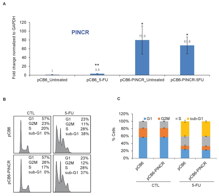 Over-expression of PINCR has no significant effect on cell cycle. HCT116 cells were transfected with pCB6 or pCB6- PINCR for 24 hr and then left untreated cells or treated with 5-FU for 48 hr. PINCR levels were measured by qRT-PCR ( A ) and the effect on cell cycle was determined by PI-staining and FACS analysis ( B, C ). Raw cell cycle profiles from a representative experiment are shown in ( B ). Cell cycle profiles from three independent experiments are shown in ( C ). Error bars represent SD from three experiments. *p
