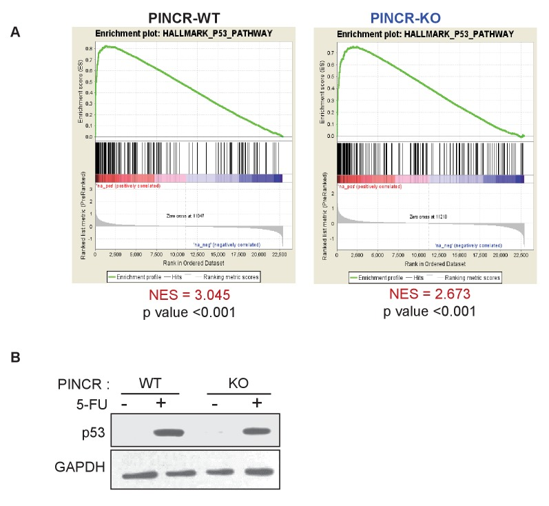 Loss of PINCR results in impaired induction of a subset of p53 targets without altering induction of p53 levels. ( A ) Gene set enrichment analysis (GSEA) for the genes upregulated in the microarrays performed in biological triplicates from untreated or 5-FU-treated PINCR -WT and PINCR -KO cells. ( B ) PINCR -WT and PINCR -KO cells were untreated or treated with 5-FU for 24 hr and immunoblotting for p53 and loading control GAPDH was performed. DOI: http://dx.doi.org/10.7554/eLife.23244.030 10.7554/eLife.23244.031 p53 immunoblot for Figure 4—figure supplement 1B . DOI: http://dx.doi.org/10.7554/eLife.23244.031