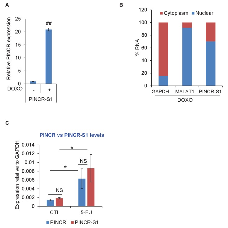 PINCR-S1 is strongly induced after DNA damage and is a predominantly nuclear lncRNA. ( A ) PINCR-S1 cells were left untreated or treated with DOXO for 16 hr and the extent of induction of PINCR-S1 RNA was assessed by qRT-PCR. ( B ) qRT-PCR for PINCR , the cytoplasmic GAPDH and nuclear MALAT1 was performed from nuclear and cytoplasmic fractions of PINCR-S1 cells treated with DOXO for 16 hr. ( C ) The expression of endogenous PINCR and endogenous PINCR-S1 relative to GAPDH was measured by qRT-PCR from HCT116 cells or PINCR-S1 HCT116 cells untreated or treated with 5-FU for 16 hr. Error bars represent SD from three independent experiments. *p