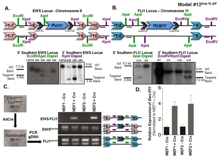 Somatic chromosomal translocation between endogenous Ewsr1 and Fli1 loci in Model #12 Cre-TL-EF A . Targeting mouse embryonic stem cells to insert a lox-puromycin r -lox cassette between exons 8 and 9 of the Ewsr1 locus. Genomic DNAs from the embryonic stem cell clones were EcoRI/AgeI (left) or KpnI (right) digested and were analyzed for the 5' and 3' integrations using Southern blot. Green and purple horizontal bars represent the probes used in the Southern blots. B . Targeting mouse embryonic stem cells to insert a lox-hygromycin r -lox cassette between exons 5 and 6 of the Fli1 locus. Genomic DNAs from the embryonic stem cell clones were ApaI (left) or EcoRV/KpnI (right) digested and were analyzed for the 5' and 3' integrations using Southern blot. Green and purple bars represent the probes used in the Southern blots. C . Schematic illustration for adenoviral Cre infection of Ews lox/wt ; Fli1 lox/wt MEFs in vitro . Genomic PCR was used to detect the translocated and untranslocated Ews and Fli1 chromosomes. The locations of the primers used are presented in the schematic. D . qPCR for Ews-Fli1 on total RNA from adenoviral Cre-treated MEFs. Hprt was used as the control gene, and samples were normalized to uninfected MEFs.