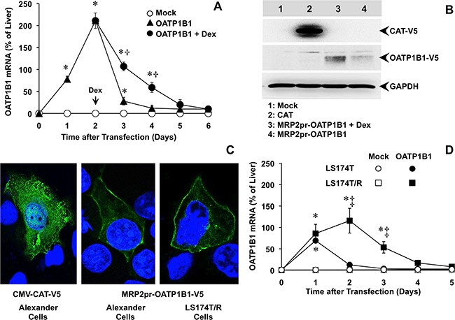 (A) Time-course of OATP1B1 expression in Alexander cells after transfection with a plasmid containing Z3-MRP2pr-OATP1B1-V5 or an empty vector (Mock). 48 h after transfection, OATP1B1 expressing cells were treated with 100 nM dexamethasone (Dex) or the vehicle. (B) Representative Western blot of OATP1B1-V5 in lysates from Alexander cells transfected with Z3-MRP2pr-OATP1B1-V5, treated with 100 nM Dex or the vehicle for 24 h. As a positive control of V5 expression a plasmid containing the V5-tagged ORF of chloramphenicol acetyl transferase (CAT) under the control of CMV promoter was used. An empty vector (Mock) was used as a negative control. Western blots were carried out with an antibody against the V5 epitope. GAPDH was used as loading protein normalizer in each lane. (C) Representative fluorescence confocal microscopy pictures of Alexander and LS174T/R cells expressing V5-tagged OATP1B1 or CAT, which were detected by using a monoclonal antibody against the V5 epitope (green). Nuclei were counterstained with DAPI (blue). (D) Time-course of OATP1B1 expression in human LS174T cells from colorectal adenocarcinoma and in the chemoresistant subline LS174T/R after transfection with a plasmid containing Z3-MRP2pr-OATP1B1-V5 or an empty vector (Mock). The amount of mRNA was determined by RT-QPCR and expressed as a percentage of that found in human liver. Values are expressed as mean±SD from 3 independent experiments performed in triplicate. *, p