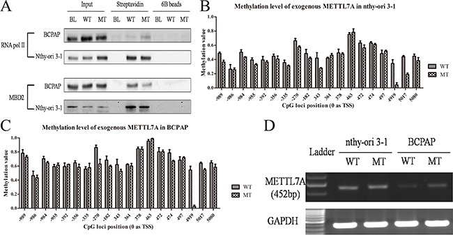 Gene body methylation of METTL7A in thryoid cancer cell lines (A) The enrichment of RNA pol II and MBD2 in gene body of exogenous linear METTL7A with wild type (WT) and mutant (MT) +4919 CpG site in BCPAP and nthy-ori 3-1 thyroid cell lines. (B, C) Methylation level of the exogenous METTL7A template with wild type and mutant +4919 CpG site in nthy-ori 3-1 and BCPAP cell lines. (D) The transcriptional level from exogenous METTL7A with wild type (WT) and mutant (MT) in nthy-ori 3-1 and BCPAP cell lines.