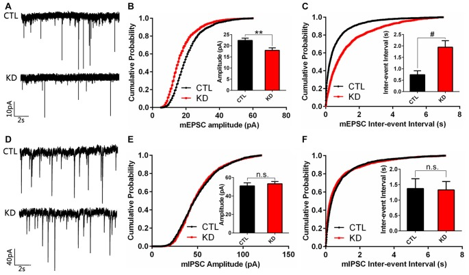 Amplitude and frequency of miniature excitatory post-synaptic current (mEPSC), but not miniature inhibitory post-synaptic current (mIPSC), are reduced in HIP1R-knockeddown neurons. Cultured hippocampal neurons were infected by HIP1R-shRNA or Scrambled lentivirus at DIV6, and whole-cell patch-clamp recording was carried out at DIV13. (A) Example traces of mEPSC. (B) Graph of cumulative probability and bar graph of amplitude mEPSC (HIP1R-KD, 17.93 ± 1.13 pA, n = 19 vs. the control, 22.38 ± 1.03 pA, n = 22) and (C) Graph of cumulative probability and bar graph of inter-event interval of mEPSC (HIP1R-KD, 1.95 ± 0.28 s, n = 19 vs. the control, 0.74 ± 0.17 s, n = 22) showed a significant reduction in mEPSC amplitude and frequency in HIP1R-KD neurons compared to the control. (D) Example traces of mIPSC. (E) Graph of cumulative probability and bar graph of amplitude mIPSC (HIP1R-KD, 53.33 ± 2.32 pA, n = 25 vs. the control, 50.98 ± 3.36 pA, n = 21), and (F) graph of cumulative probability and bar graph of inter-event interval of mIPSC (HIP1R-KD, 1.33 ± 0.27 s, n = 25 vs. the control, 1.37 ± 0.31 s, n = 21) did not show marked differences in mIPSC amplitude and frequency between the two groups. All data are presented as mean ± SEM, unpaired two-tailed t -test. ** P