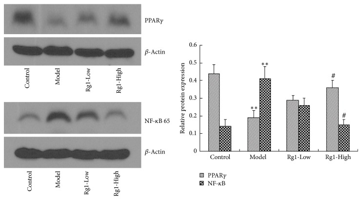 Effect of Rg1 on the protein expression of PPAR γ and NF- κ B 65 in the cortical neurons of rats. ∗∗ P