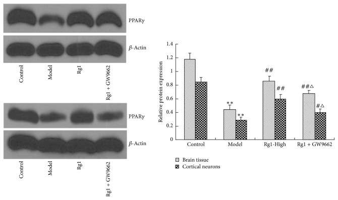 Rg1 induced PPAR γ expression and inhibited by GW9662 in cerebral ischemic rats and in OGD rat cortical neurons. ∗∗ P