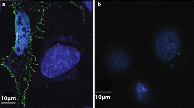 Pfs25 expression on Hela cells. Hela cells were transfected with an Ad5 shuttle vector with ( a ) or without ( b ) the codon-optimized Pfs25 gene under the control of the CMV immediate early promotor. Twenty-four hours post transfection, cells were fixed, permeabilized, and probed with ID2, a conformation-dependent Pfs25-specific monoclonal antibody, then probed with an Alexa Fluor488-conjugated anti-mouse secondary antibody and visualized by IFA