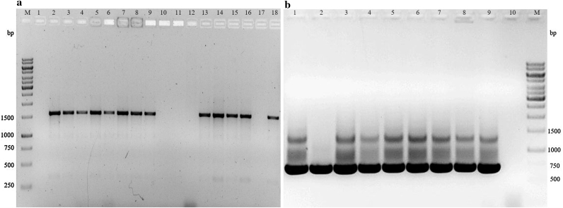 Amplification of (a) cry1 and (b) cry2 genes in representative B. thuringiensis isolates indicating amplification of 1500 bp and 700 bp amplicons, respectively. Lane M: 1 kb DNA size marker (Fermentas). 1.0% agarose/EtBr gel.