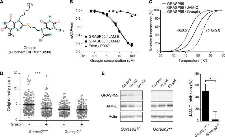Characterization of a small compound inhibiting GRASP55 interaction with JAMs. (A) 2D structure, PubChem Common Identifier (CID) and given name of the prioritized hit from the structure-based drug design approach. (B) Representative curves were obtained by HTRF using GST-GRASP55 FL or GST-Erbin with the indicated biotinylated peptides and competed with Graspin (IC 50 = 8.4 μM for GRASP55/JAM-B and 12 μM for GRASP55/JAM-C). (C) Fluorescence profiles presenting results obtained by differential scanning fluorimetry (DSF). Shifts in the melting temperatures of His-GRASP55 PDZ12 incubated with a twelve molar equivalent of ligand or DMSO as control are shown. (D) Golgi density of Gorasp2 +/+ and Gorasp2 -/- MEFs treated or not with Graspin at 50 μM during 48 h. Each circle represents one Golgi. Data are the mean ± s.e.m. of pooled results of three independent experiments (analysis of 30–90 Golgi per condition, per experiment). Student's unpaired t -test; ***: P