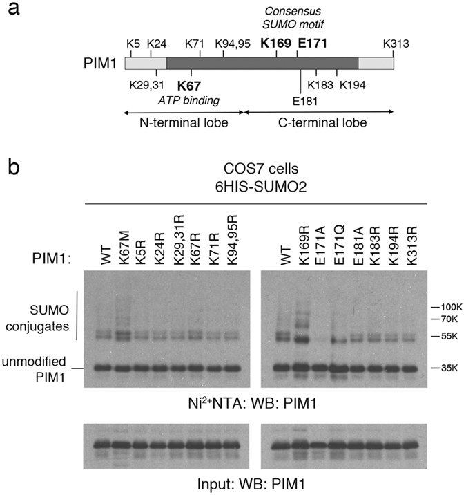 Identification of the sites of SUMOylation in PIM1. ( a ) Schematic showing the kinase domain of PIM1, and the position of various lysine (K) and and glutamic acid (E) residues predicted to be involved in SUMOylation. ( b ) WT PIM1 or single amino acid substitution site mutants were expressed at near equal protein levels in COS7 cells with 6His-SUMO2, by transfecting different amounts of plasmids. Empty vector was included, where appropriate, to maintain equal amounts of transfected plasmid DNA. An aliquot of whole cell lysate was taken as input, and the remainder subjected to Ni 2+ -NTA pull-down to capture SUMOylated proteins. The samples were subjected to SDS-PAGE followed by western blotting using a PIM1 antibody.