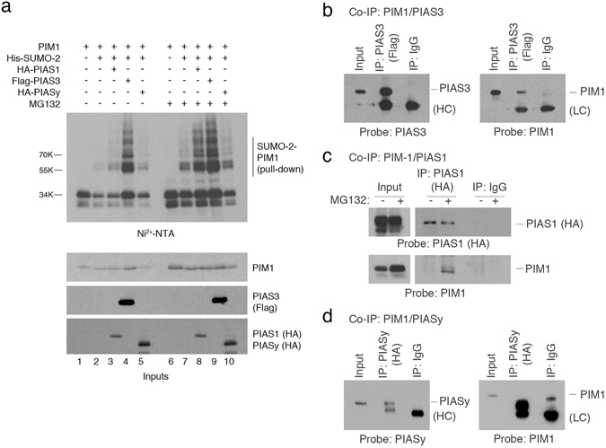 PIAS family members can directly interact with PIM1, and act as E3 SUMO ligases for PIM1. ( a ) Western blots showing SUMOylation assay performed in COS7 cells transfected with plasmids expressing PIM1, 6His-SUMO2 with PIAS1, PIAS3 or PIASy in the absence or presence of MG132 (20 μM for 6 hours). A western blot of whole cell lysate (input) was also performed to confirm the expression PIM1, PIAS1, PIAS3 and PIAS3 using the indicated antibodies. ( b ) H1299 cells were co-transfected with PIM1 and PIAS3 expression plasmids, and co-immunoprecipitation was performed using anti-Flag-antibody to pull-down PIAS3 associated complexes. The immunoprecipitated (IP) samples were analyzed by western blotting using Flag-tag and PIM1 (12H8) antibodies. Mouse IgG was used as a negative control. ( c ) H1299 cells were transfected with plasmids expressing PIM1 and PIAS1 in the presence or absence of MG132 (20 μM for 6 hours), and co-immunoprecipitation was performed using HA-tag (PIAS1) antibody. The IP samples were western blotted for the presence of PIAS1 and PIM1 using anti-HA- and PIM1 (12H8) antibodies. Mouse IgG was used as a negative control. ( d ) H1299 cells were co-transfected with PIM1 and PIASy expression plasmids, and co-immunoprecipitation was performed using anti-HA-antibody to pull-down PIASy associated complexes. The immunoprecipitated (IP) samples were analyzed by western blotting using anti-HA (PIASy) and PIM1 (12H8) antibodies. Mouse IgG was used as a negative control.