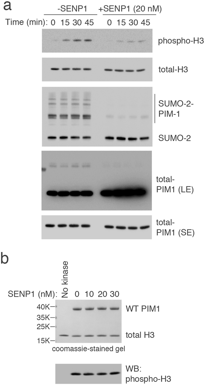SUMOylation increase PIM1 kinase activity in vitro . ( a ) Bacterially purified 6His-PIM1 was SUMOylated in vitro using purified GST-SUMO2. Equal amounts of SUMOylated protein (including PIM1) were captured using GST-beads and incubated without or with SENP1 catalytic domain for 1 hour at 30 °C. Kinase assays were then performed using Histone H3.3 as a substrate for at 30 °C for 0, 15, 30 and 45 min. Kinase activity of SUMO2-modified or unmodified PIM1 was measured by analyzing Histone H3.3 phosphorylation using a phospho-specific antibody. Equal levels of substrate and kinase were confirmed by western blotting using indicated antibodies. ( b ) Purified WT PIM1 was first incubated with or without SENP1 catalytic domain fragment for 1 hour at 30 °C, and immediately used in a kinase assay using Histone H3.3 as substrate for 30 min at 30 °C. PIM1 kinase activity was measured by analyzing Histone H3.3 phosphorylation using a phospho-specific antibody. Equal levels of substrate and kinase were confirmed by coomassie staining of the gel.