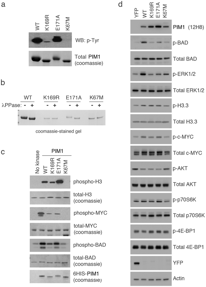 PIM1 SUMOylation regulates substrate specificity in vitro and in cultured cells. ( a ) 6His-PIM1 (WT or mutant) was expressed and purified from bacterial cells, and resolved by SDS-PAGE. A western blot for the same samples was also performed using a pan-phospho tyrosine antibody to detect PIM1 autophosphorylation. ( b ) The purified 6His-PIM1 proteins were treated with lambda phosphatase (+) to remove overall phosphorylation or untreated (−). Samples were resolved by SDS-PAGE, and stained with coomassie to visualize a shift in mobility, which is indicative of dephosphorylation. ( c ) In vitro kinase assays were carried out using recombinant c-MYC or Histone H3.3 as substrates, in the absence or presence of the indicated purified 6His-PIM1 proteins. The samples were resolved by SDS-PAGE, and either stained with coomassie to detect total protein levels or transferred to a nitrocellulose membrane for western blotting using phospho-specific antibodies as a measure of PIM1 kinase activity. ( d ) U2OS-FRT cells expressing YFP alone, YFP-WT PIM1 and YFP-E171A were treated with 10 ng/ml doxycycline; U2OS-FRT expressing YFP-K169R was treated with 20 ng/ml doxycycline and U2OS-FRT expressing YFP-K67M was treated with 50 ng/ml doxycycline for 48 hours, followed by western blotting using indicated antibodies.