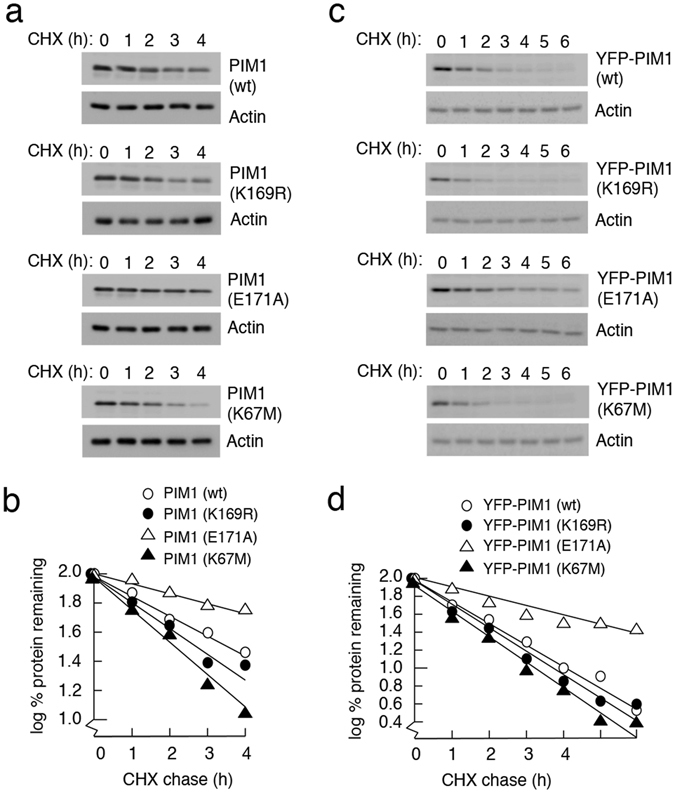 SUMOylation regulates PIM1 stability. ( a ) Plasmids encoding WT MYC-PIM1, PIM1 SUMO mutants (MYC-K169R and MYC-E171A) and a catalytically inactive mutant (MYC-K67M) were transiently transfected into H1299 cells. Cycloheximide was added to the cells 24 hours post transfection at a final concentration of 50 μg/ml to inhibit protein synthesis, and harvested at the indicated time points. The cell lysates were analyzed by western blotting using PIM1 (12H8) antibody. Actin was used as a loading control. ( b ) PIM1 band intensity in each case was quantified relative to the zero time point, using Biorad ImageLab software, and plotted on a graph as percentage of protein remaining in log scale. ( c ) HeLa-FRT cells expressing YFP-tagged WT PIM1 or mutant PIM1 were treated with 50 ng/ml doxycycline for 24 hours to induce protein expression, following which cycloheximide chase assay was performed as done in panel A. ( d ) PIM1 protein levels were quantified and represented graphically as done in panel B.