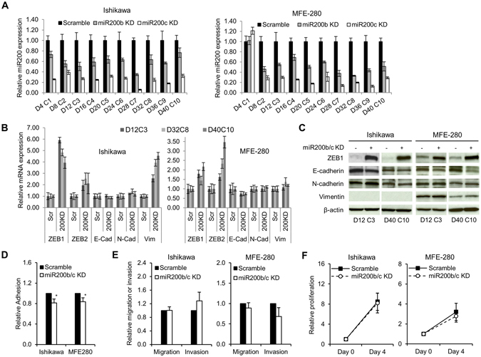 Effects of consecutive transient miR-200 depletion in EAC cell lines. ( A ) Constitutive miR-200b/c depletion in EAC cell lines. Ishikawa and MFE-280 cell lines were transiently transfected with miR-200b/c inhibitor every 4 days for a total of 40 days (D = day, C = transfection cycle). Bar graphs represent relative miR-200b/c expression. Data are normalized to scramble. ( B ) Relative mRNA expression of EMT markers. TaqMan probes for ZEB1, ZEB2, E-cadherin (E-cad), N-cadherin (N-cad) and vimentin (vim) are shown on the bottom. Scramble (Scr) represents control for miR200b/c KD (200KD) samples. Data are normalized to scramble. Representative time points D12C3, D38C8 and D40C10 are shown. ( C ) Protein expression of EMT markers by immunoblotting. Representative early and late time points are shown. Anti-β-actin serves as a loading control. ( D ) Relative adhesion, and ( E ) migration and invasion in miR-200b/c knockdown (miR200b/c KD) vs. scramble-treated cells. ( F ) Relative proliferation measured by cell counts. Data are normalized to Day 0. All graphical data are reported as mean ± SD. *P