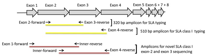 Primer location and amplicon coverage. Schematic view of the SLA class I gene and the location of primers used for generation of amplicons to be sequenced (primer sequences are shown in Table 1 ).