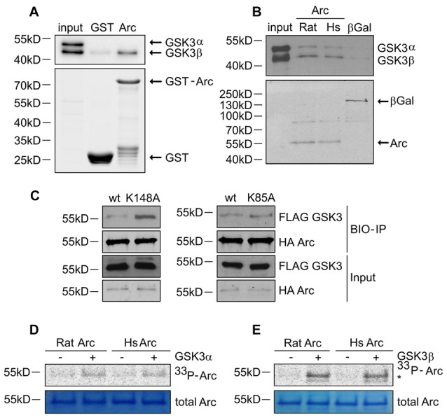 GSK3α/β binds and phosphorylates Arc protein. (A) GSK3β directly associates with Arc protein. Purified GST-Arc protein of rat origin was incubated with protein lysate from rat hippocampus. GSK3α/β binding was determined by Western blot. (B) GSK3α/β may directly associate with Arc protein in cells. Rat and human Arc or β-Gal proteins that were overexpressed in HEK293 cells were captured on <t>streptavidin-coated</t> beads and incubated with mouse hippocampal lysate. Bait-kinase binding was estimated by probing the blot with anti-GSK3α/β antibody. Bait (e.g., biotinylated Arc or β-Gal) was detected using fluorescently labeled streptavidin. (C) Kinase dead (KD) mutants of GSK3α (K148A) and GSK3β (K85A) display greater affinity to rat Arc protein than wildtype kinases. HA-tagged BIO- Arc protein was overexpressed in HEK293 cells together with a wildtype or KD form of FLAG-GSK3α (K148A) or a wildtype or KD form of FLAG-GSK3β (K85A) for 20 h. Cell lysates were then harvested and immediately subjected to avi-tag co-precipitation. Blots were probed with anti-FLAG antibody to detect overexpressed GSK3α/β proteins and probed with anti-HA antibody to detect recombinant Arc. (D,E) Rat and human Arc proteins are phosphorylated in vitro by recombinant GSK3α and GSK3β. The figures show representative results from the in vitro kinase assay. Arc proteins that were overexpressed in HEK293 cells were isolated and incubated with or without recombinant GSK3α or GSK3β. Arc phosphorylation was detected by autoradiography. The level of total Arc was estimated with Coomassie Brilliant Blue staining. The phosphorylated GSK3β band is visible beneath the Arc band (indicated by asterisk [*]).