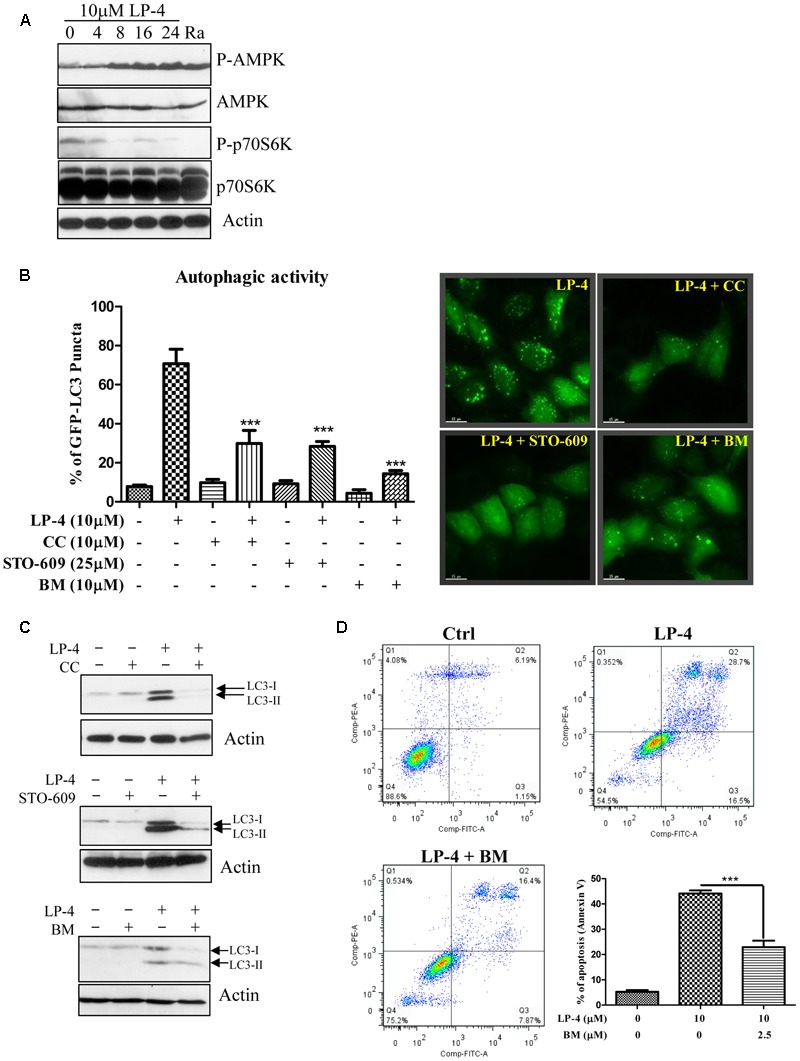 N -desmethyldauricine (LP-4) induces autophagy via CaMKK-β -AMPK -mTOR signaling pathways. (A) LP-4 activated the AMPK-mTOR cascade. Cells treated with LP-4 (10 μM) or positive control (rapamycin, 300 nM) for 24 h was analyzed for the expression of p-p70S6K, total p70S6K, p-AMPK, AMPK, and actin by Western blot. (B) Inhibitors for AMPK, CaMKK-β and calcium chelator inhibited autophagy induction by LP-4. EGFP-LC3 transfected HeLa cells were treated with DMSO (Ctrl) or LP-4 (10 μM) in the presence or absence of AMPK inhibitor compound C (CC, 10 μM), CaMKK β inhibitor (STO-609, 25 μM) or calcium chelator, BAPTA/AM (BM, 10 μM) for 4 h. The cells were then fixed for fluorescence microscopic analysis and quantitation of autophagic cells. (C) Compound C, STO-609 and BAPTA/AM inhibited the conversion of LC3-II in HeLa cells. Cells treated with LP-4 (10 μM) with or without the presence of compound C (CC, 10 μM), STO-609 (25 μM) or BAPTA/AM (10 μM) for 4 h were analyzed for the protein expression of LC3-II (LC3-I, 18 kDa; LC3-II, 16 kDa). (D) Calcium chelator (BAPTA/AM) suppressed the cell death induced by LP-4 in HeLa. Cells treated with LP-4 (10 μM) with the presence of BAPTA/AM (BM, 2.5 μM) for 24 h were subjected to flow cytometry analysis after annexin V staining. Bar chart indicated the percentage of apoptotic cells after treatments. Data were the means of three independent experiments; error bars, SD ∗∗∗ P