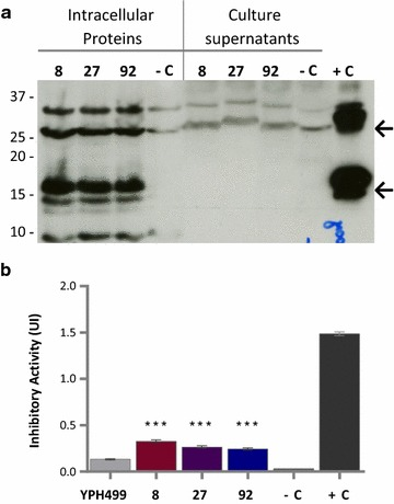Western blot and α-amylase inhibitory activity of proteins from selected colonies of S. cerevisiae YPH499 with αAI - OPT . a Western blot of proteins (25 µg) from culture supernatants and lysed-cells of colonies 8, 27 and 92 transformed with αAI - OPT ; the parent strain YPH499 transformed with empty plasmid pYES2 was used as negative control (−C) and pure Pinto-αAI (200 ng) was used as positive control (+C). Molecular markers are shown in kilodaltons at left . b Inhibitory activity against porcine pancreatic α-amylase of lysed-cell extracts (100 µg of protein) of S. cerevisiae YPH499/pYES2-αAI-OPT colonies 8, 27 and 92. Parent strain YPH499 transformed with empty plasmid pYES2 was used as a negative control (−C) and pure Pinto-αAI (200 ng) was used as a positive control (+C). Results are expressed as inhibition units (IU). Data from triplicate experiments were expressed as the average ± standard error. *** P