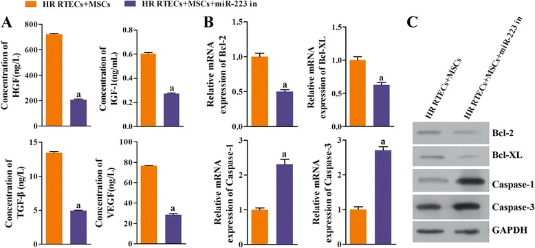 Expression of growth factors, chemokines, and antiapoptosis factors was suppressed by coculture with mesenchymal stem cells ( MSCs ) when miR-223 was inhibited; however, expression of proapoptosis factors was enhanced. All renal tubular epithelial cells ( RTECs ) were treated with hypoxia/reoxygenation ( HR ) stimulation. The MSCs had been transfected in advance with a miR-223 inhibitor ( miR-223 in ). The RTECs and MSCs were then cocultured in a double-chamber. a The concentrations of hepatocyte growth factor ( HGF ), insulin-like growth factor-1 ( IGF-1 ), transforming growth factor beta ( TGF-β ), and vascular endothelial growth factor ( VEGF ) in coculture supernatants were measured with ELISA. b Expression of B-cell lymphoma-2 ( Bcl-2 ), B-cell lymphoma-XL ( Bcl-XL ), cysteine protease protein-1 ( caspase-1 ), and cysteine protease protein-3 ( caspase-3 ) in RTECs was detected by qRT-PCR. c Representative images of Western blot assays for apoptosis-related indicators. a P