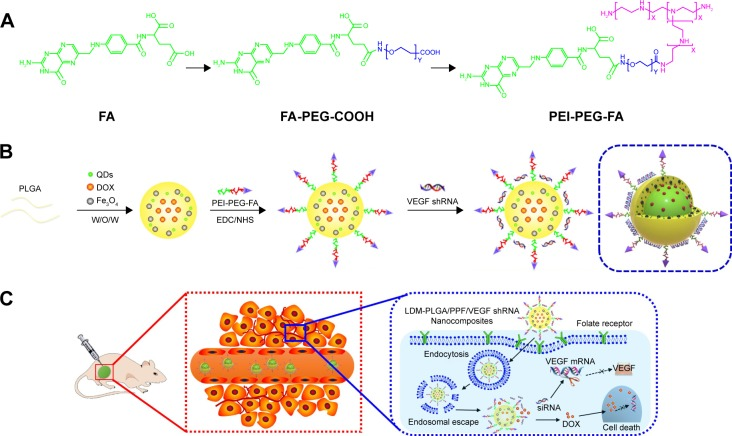 Schematic illustration of the synthesis procedure of LDM-PLGA/PPF/VEGF shRNA nanocomposites for codelivery of DOX and VEGF shRNA in EMT-6 tumor models. Notes: ( A ) The preparation process of PEI-PEG-FA. ( B ) The construction of PLGA-based polymeric nanoparticles using a double emulsion solvent evaporation method. ( C ) The transport process of LDM-PLGA/PPF/VEGF shRNA nanocomposites and inhibition of tumor growth through cellular uptake via endocytosis, endosomal escape, intracellular VEGF shRNA, and DOX release. Abbreviations: DOX, doxorubicin; PLGA, poly( d,l -lactic- co -glycolic acid); PEI-PEG-FA, polyethyleneimine premodified with polyethylene glycol-folic acid; PPF, PEI-PEG-FA; shRNA, small hairpin RNA; VEGF, vascular endothelial growth factor; siRNA, small interfering RNA; QDs, quantum dots; EDC, N -(3-dimethylaminopropyl)- N ′-ethylcarbodiimide hydrochloride; NHS, N -hydroxysuccinimide.