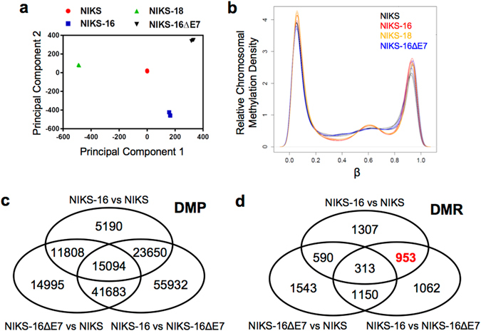HPV16 E7 alters host genome methylation in keratinocytes. Global DNA methylation profiles in NIKS, NIKS-16, NIKS-18, and NIKS-16ΔE7 cells were analyzed in triplicate using Illumina Infinium HumanMethylation450 BeadChip arrays. ( a ) Principal component analysis data are shown for each replicate of normalized data from NIKS (red circle), NIKS-16 (blue square), NIKS-18 (green triangle) and NIKS-16ΔE7 (black triangle) cells. ( b ) Methylation array data from NIKS (black), NIKS-16 (red), NIKS-18 (orange) and NIKS-16ΔE7 (blue) cells were normalized using SWAN and the relative methylation (β) density across the genome are plotted. β represents the ratio of methylated signal to total signal (methylated + unmethylated) at a given CpG site. β near 0 or 1 indicates no methylation or complete methylation, respectively. Three pairwise comparisons are summarized by Venn diagrams showing the number of overlapping ( c ) differentially methylated positions (DMP, FDR adjusted p