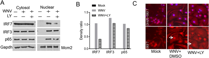 PI3K is critical for WNV-activated nuclear translocation of IRF7. BMDMs were left untreated (mock) or infected with WNV in the presence of vehicle control (DMSO) or 5 μM of LY294002 (LY) for 24 h. ( A ) Immunoblotting analyses of IRF3, IRF7, and NF- κBp65 in the cytoplasmic (Gapdh as the housekeeping protein control) and nuclear fractions (Mcm2 as the housekeeping protein control). Blots shown are cropped from full-length. ( B ) Quantification of the nuclear immunoblot band density in ( A ) by Image J. The results are expressed as the ratio of IRF7/IRF3/p65 to Mcm2. ( C ) Immunofluorescence staining of IRF7 (red) and nuclei by DAPI (blue). Images were acquired with a Zeiss fluorescence microscope. The arrows indicate nuclear IRF7 staining. The data shown are representative of 3 independent reproducible experiments.