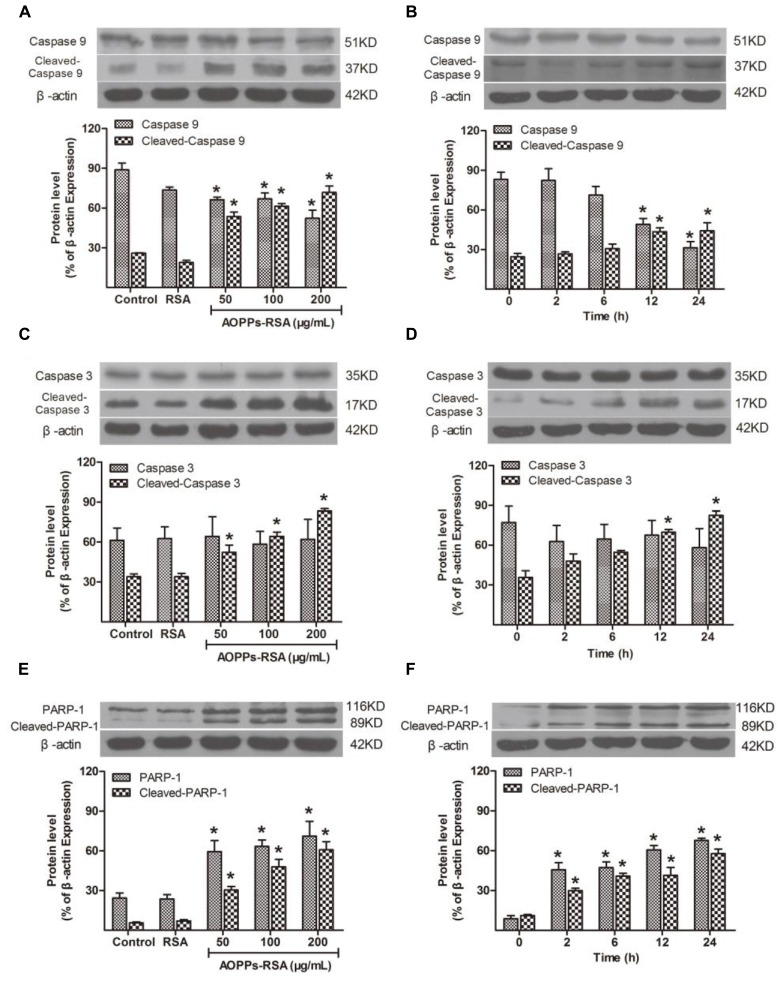 Apoptosis-related cellular events after AOPPs–RSA treatment. (A,B) Pro-caspase 9 significantly decreased from 12 h, accompanied by an overexpression of cleaved-caspase 9 in a dose-dependent manner. (C,D) Cleaved-caspase 3 increased from 12 h, however, pro-caspase 3 had no significant changes. (E) PARP-1 and cleaved-PARP-1 activation were enhanced by AOPPs–RSA at increasing concentrations. (F) PARP-1 and cleaved-PARP-1 increased from 2 h and reached the highest level at 24 h 05). Data represent mean ± SEM of at least three independent experiments. ∗ P