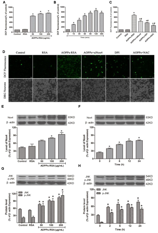 Advanced oxidative protein products activated JNK via Nox4–ROS pathway. (A) DRG neurons were incubated in AOPPs–RSA, unmodified RSA, or control medium for 6 h prior to DCFH-DA (10 μM) treatment. (B) DRG neurons were incubated in 200 μg/mL AOPPs–RSA for indicated time durations followed by DCFH-DA treatment. (C) DRG neurons were treated with AOPPs–RSA (200 μg/mL) with or without Nox4 siRNA, DPI (10 μM, 2 h) or NAC (2 mM, 2 h). (D) DRG neurons were cultured with control medium, RSA, AOPPs–RSA (200 μg/mL), AOPPs+siNox4, AOPPs+DPI, or AOPPs+NAC for 360 min. Confocal laser scanning microscope system was used to visualize ROS generation in DRG neurons with the use of DCFH-DA, scale bar, 30 μm. (E,F) The level of Nox4 was up-regulated significantly in DRG neurons incubated with AOPPs–RSA in indicated concentrations or periods. (G,H) The expression level of JNK/p-JNK. Data represent mean ± SEM of at least three independent experiments. ∗ P