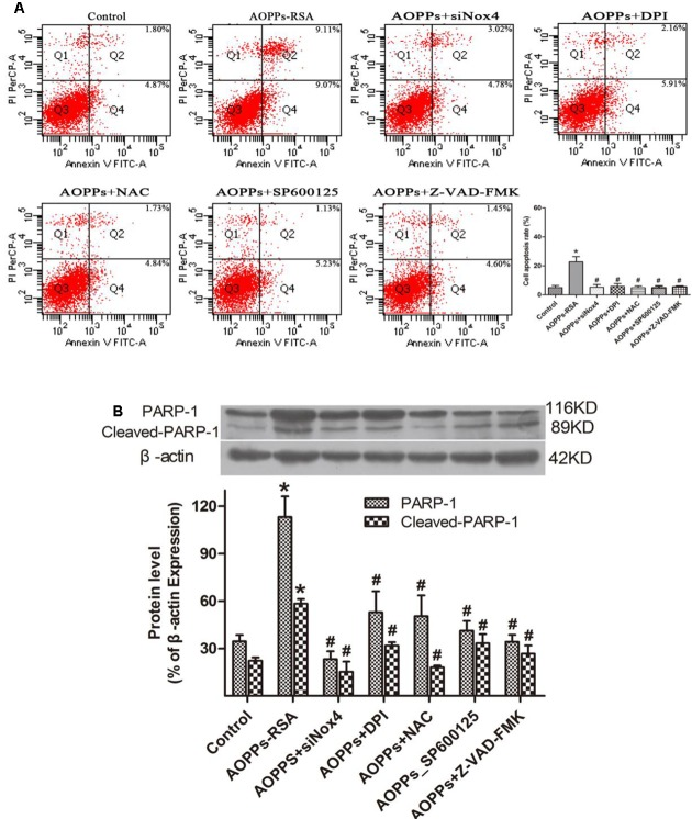 Advanced oxidative protein products-induced DRG neurons apoptosis was mediated through the Nox4–JNK–caspase cascade–PARP pathway. (A) DRG neurons were pre-incubated with siRNA Nox4, DPI (10 μM), NAC (2 mM), an JNK inhibitor (SP600125, 10 μM) or the broad-spectrum caspase inhibitor Z-VAD-fmk (20 μM) before AOPPs–RSA treatment. They all inhibited AOPPs-induced cell apoptosis. (B) The expression of PARP-1/ cleaved-PARP-1 were tested by western blots. Data represent mean ± SEM of at least three independent experiments. ∗ P