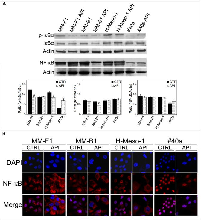 Effect of API on NF-κB activation. (A) Western blotting analysis was performed on MM cells treated with API at 50 μM or with the DMSO vehicle (CTR) for 24 h. The densitometric ratios between NF-κB and actin, IκBα and actin, p-IκBα and IκBα and statistical analysis are reported. Data are expressed as the mean ± SD of two independent experiments ( x p ≤ 0.05, # p ≤ 0.001 compared with CTR). (B) Inhibition of nuclear translocation of NF-κB after treatment with API in MM cells was assessed by immunofluorescence analysis. Cells were fixed after treatment, and incubated with the anti-NF-κB antibody. After two washes with PBS, the cells were incubated with the goat anti-mouse IgG Alexa fluor-488-conjugated secondary antibody. Nuclei were stained with DAPI. Original magnification x400.